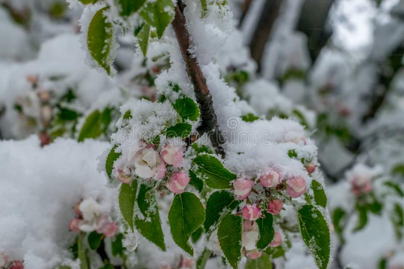 A natural calamity of snow during the bloom of the trees and the harvest royalty free stock photo