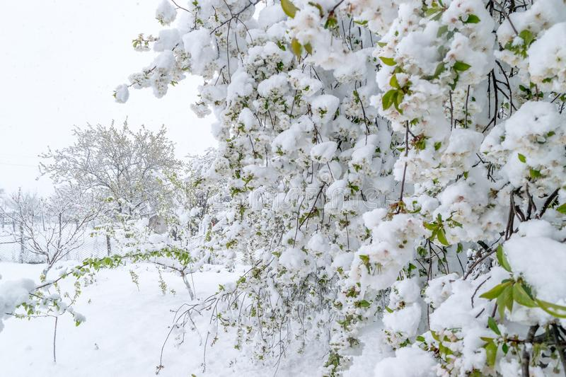 A natural calamity of snow during the bloom of the trees and the harvest stock photos