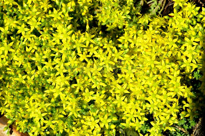 The natural carpet consists of densely growing small flowers of a sedum. royalty free stock photo