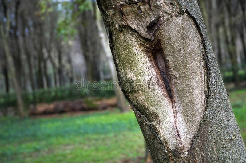 Natural Carved Love Heart. Big natural love heart carved on a tree stock image