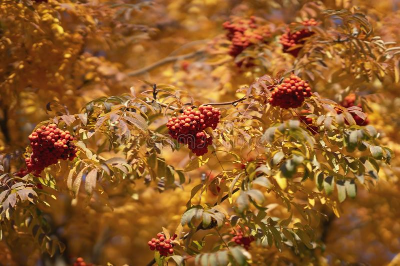 Natural colorful autumn background of wild colorful foliage and rowan berry leaves. Colors and texture of autumn, bright royalty free stock photography