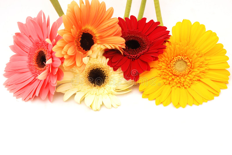 Natural colors. Blossoms of colorful Gerbera flowers in various colors isolated on white background royalty free stock image
