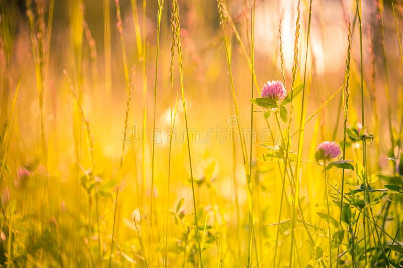Beautiful summer meadow flowers. Calm nature background concept design. Natural colors of summer meadow and flowers. Sunset warm tones and blurred background stock photography