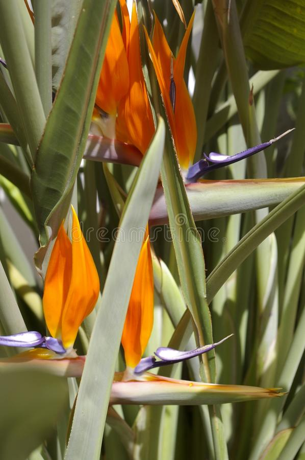 Flower bird of paradise. A natural composition of three sterlitzia reginea ,orang , green ,and purple.gorgeous trio of the flowers birds of paradise stock photos