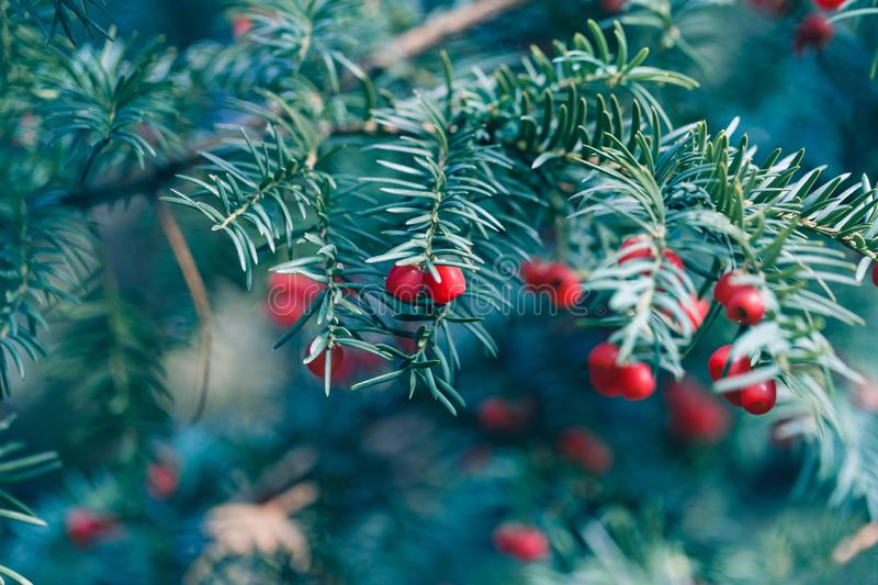 Natural conifer background of yew tree branch and berries stock images