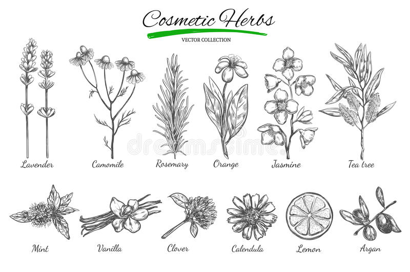 Natural cosmetics. Vector hand drawn.Isolated objects on white. Herbs and flowers. Herbal Medicine. royalty free illustration