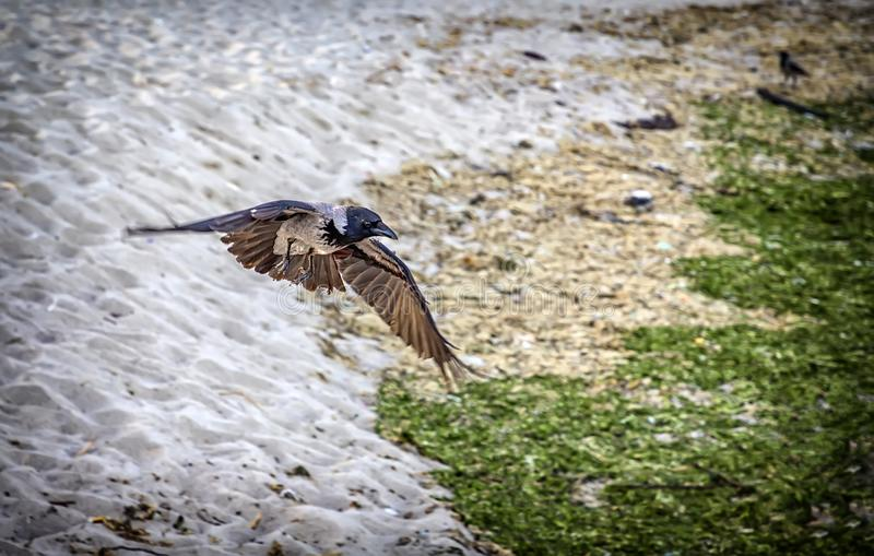 Natural flying crow raven. Natural crow raven flying over the sand royalty free stock image