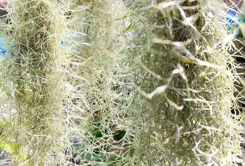 Natural `curtain` Formed By Spanish Moss. Spanish Moss ...