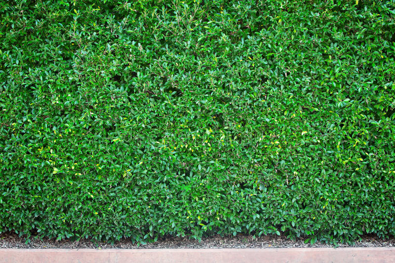 Natural dark green wall of backgroud.  stock photo
