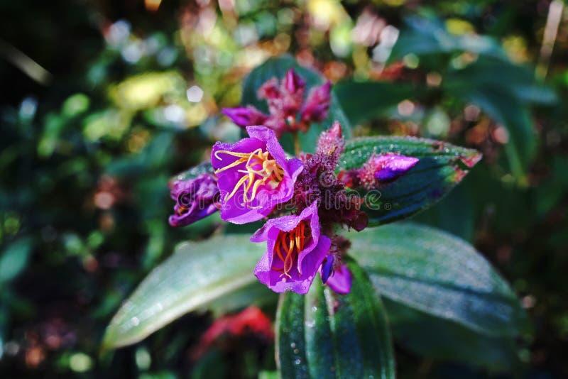 Natural de la hierba o de la planta del shrublet al sur de China y a Asia sudoriental fotos de archivo libres de regalías