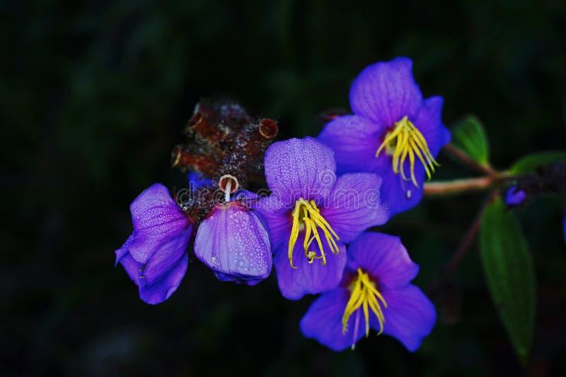 Natural de la hierba o de la planta del shrublet al sur de China y a Asia sudoriental imagen de archivo