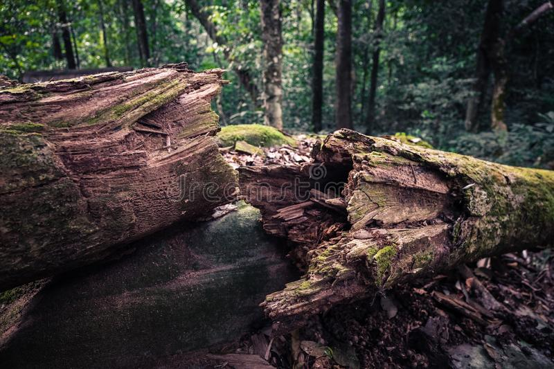 Dead Tree in Jungle. Natural dead tree lying down in the deep jungle stock image