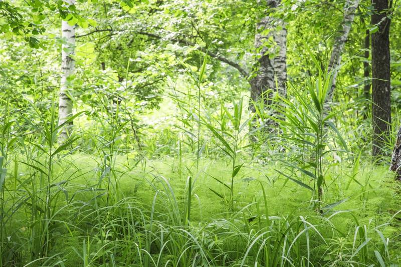 Natural defocused landscape with thickets of thick fresh green grass on the background of birch trees on a sunny summer day in the stock photography
