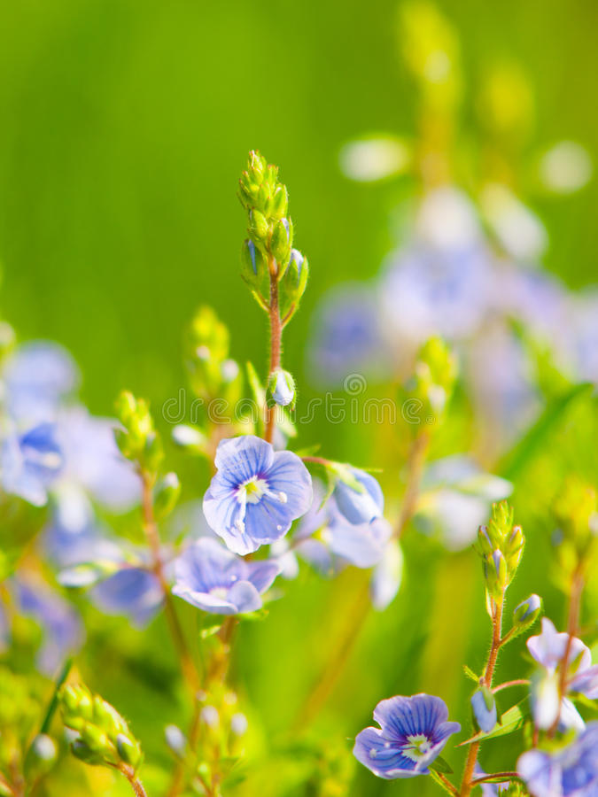 Natural detail with tiny blue-violet tiny blooms and green bokeh background. Sunny spring day theme. Shallow depth of. Field royalty free stock image