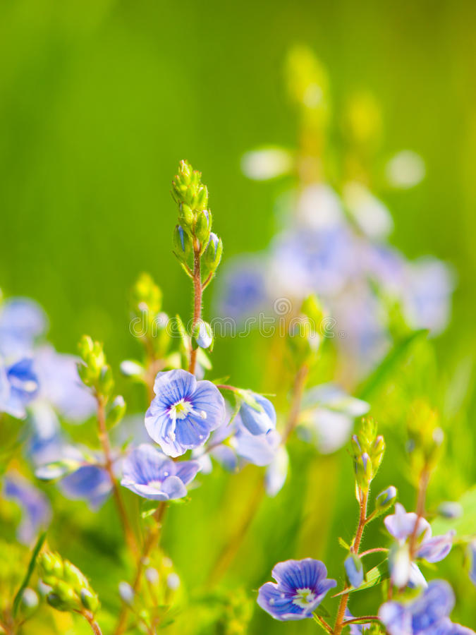 Natural detail with tiny blue-violet tiny blooms and green bokeh background. Sunny spring day theme. Shallow depth of. Field royalty free stock photo