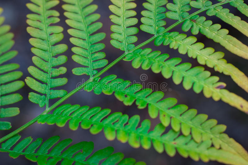 Natural diagonal structure of ornamental green fern bracken leaf. Natural diagonal structure of textured and ornamental green fern bracken leaf stock image