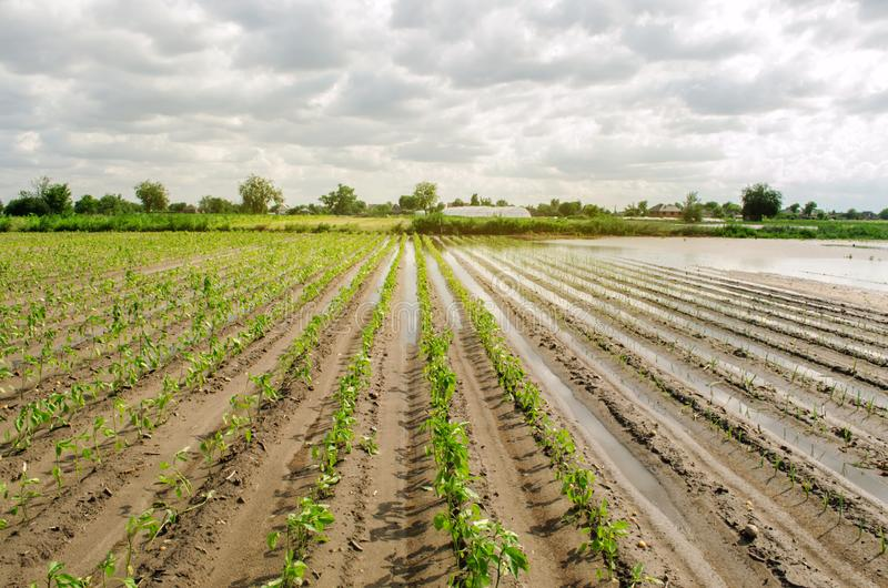 Natural disaster on the farm. Flooded field with seedlings of pepper and leek. Heavy rain and flooding. The risks of harvest loss. The flood. Agriculture royalty free stock images