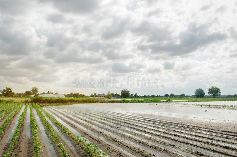 Natural disaster on the farm. Flooded field with seedlings of pepper and leek. Heavy rain and flooding. The risks of harvest loss. The flood. Agriculture stock images
