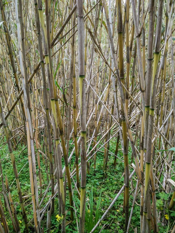 Natural environments. Rivers and ponds. Spontaneous vegetation. Plants of Common reed cane & x28;Arundo donax& x29 stock photos