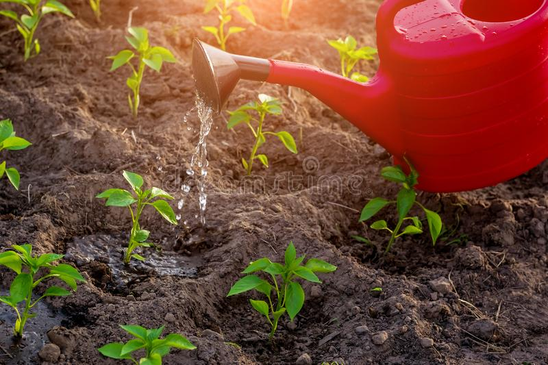Natural farming, watering young peppers with water from a watering can royalty free stock images