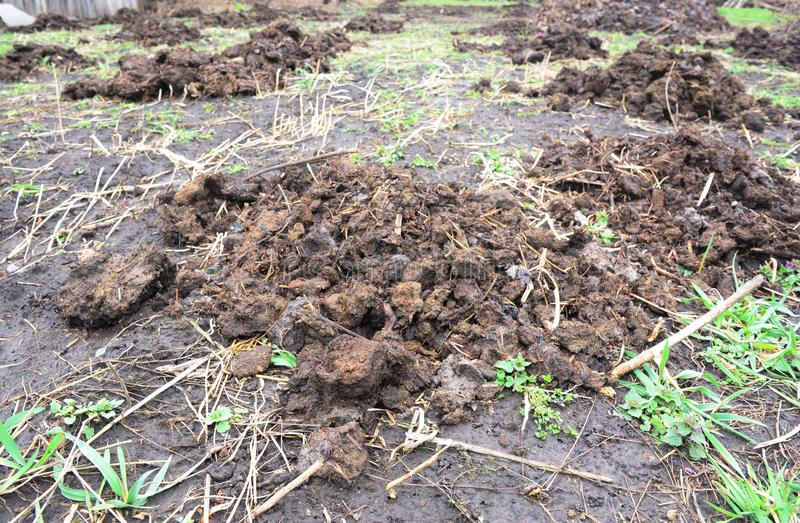Natural fertilizer on the field from cow manure or cow dung, straw in countryside farm royalty free stock photo