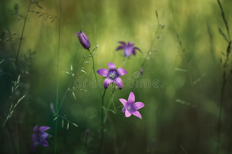 Natural field background. Campanula patula, bluebell, campanula in the field. Beautiful summer meadow background. Summer royalty free stock images