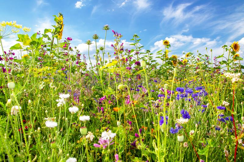 Flower field in summer. Natural field with colorful flowers in summer royalty free stock photography