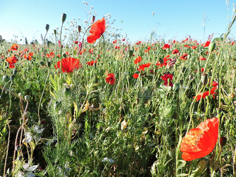 Natural field of wildflowers poppies and snails two royalty free stock photos