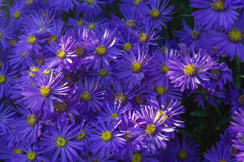 Natural floral background with blue wood aster, blue heart-leaved aster in sun rays during sunset royalty free stock image
