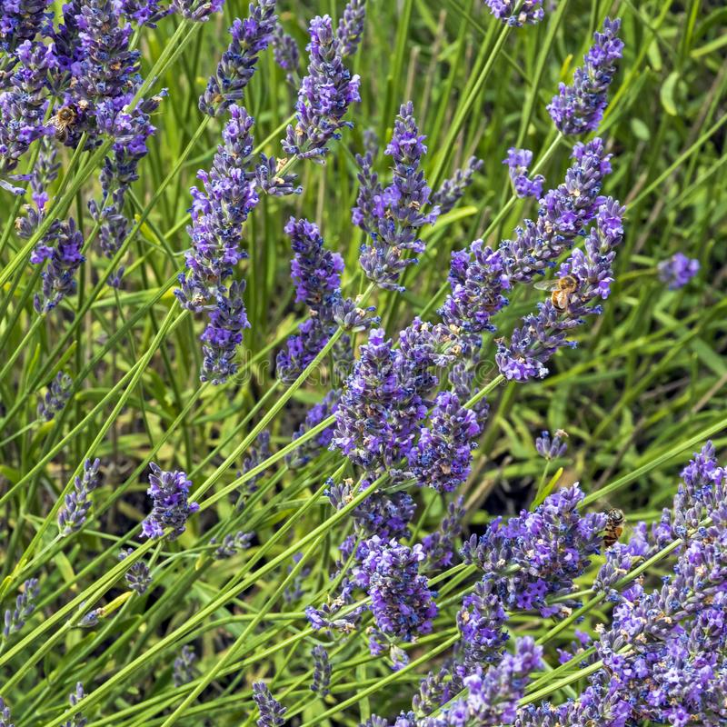 Natural floral background with close-up of Lavender flower field, vivid purple aromatic wildflowers in nature royalty free stock image