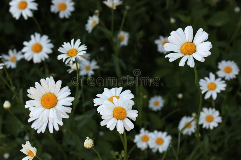 Natural floral background. White daisies, chamomile in the field or garden. Beautiful summer meadow background. Summer royalty free stock images