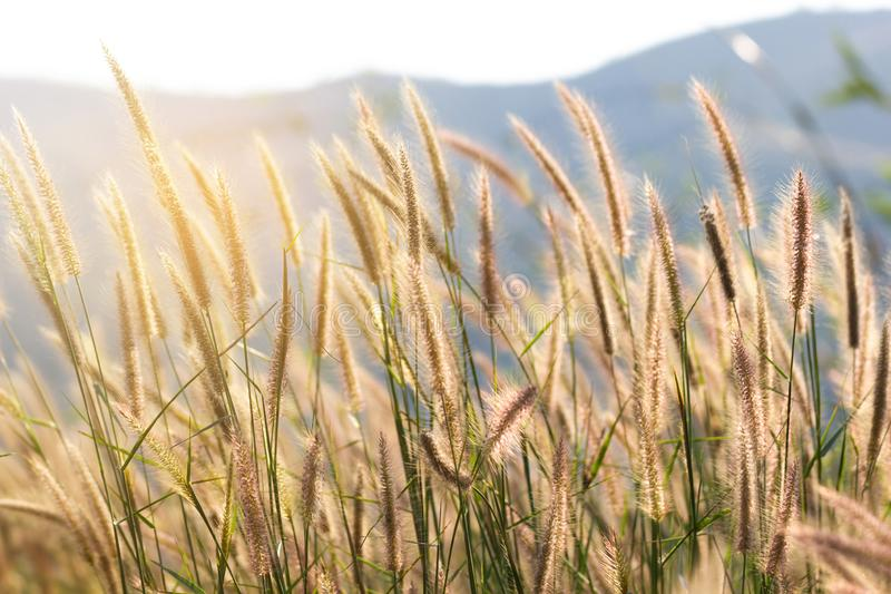 Natural flower Grass blowing in the wind motion stock image