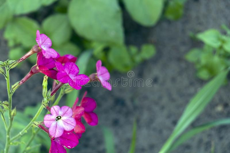 Small tiny pink flowers of tobacco with green leaves and brown ground on the background stock photos