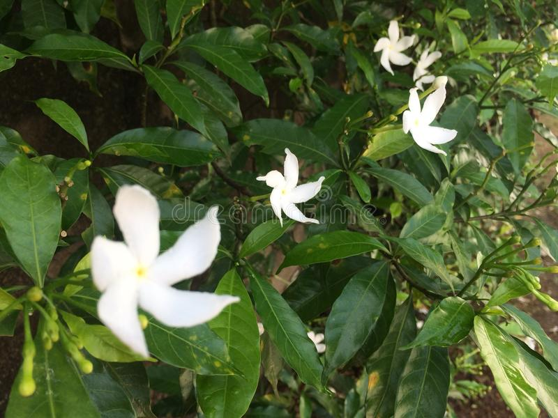 Tropical flowers in bloom, sri lanka stock images