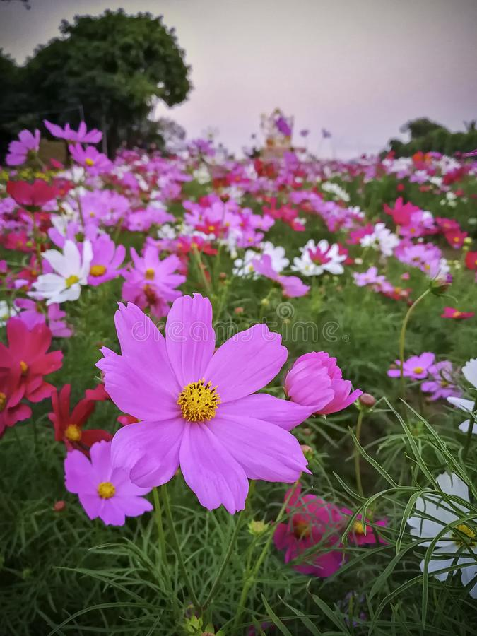 Natural Flowers scene of blooming of pink Sulfur Cosmos royalty free stock photo