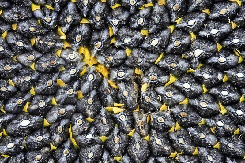 Natural food background with texture close-up of perfectly ripe sunflower full of black selected large tasty seeds stock images