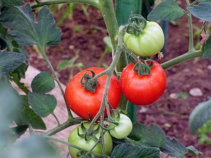 Natural Foods, Vegetable, Tomato, Local Food Free Public Domain Cc0 Image