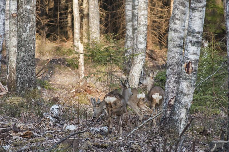 Natural forest of birch trees with three roe deer in sunlight of sunset royalty free stock image