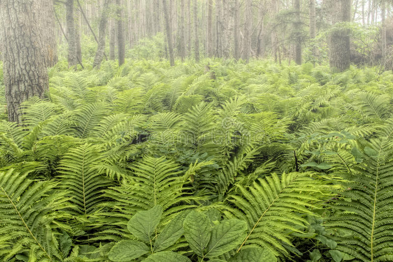Natural Forest with Fern Plants royalty free stock photography