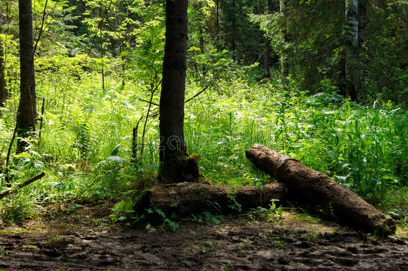 Natural forest landscape. With fallen tree trunks stock image