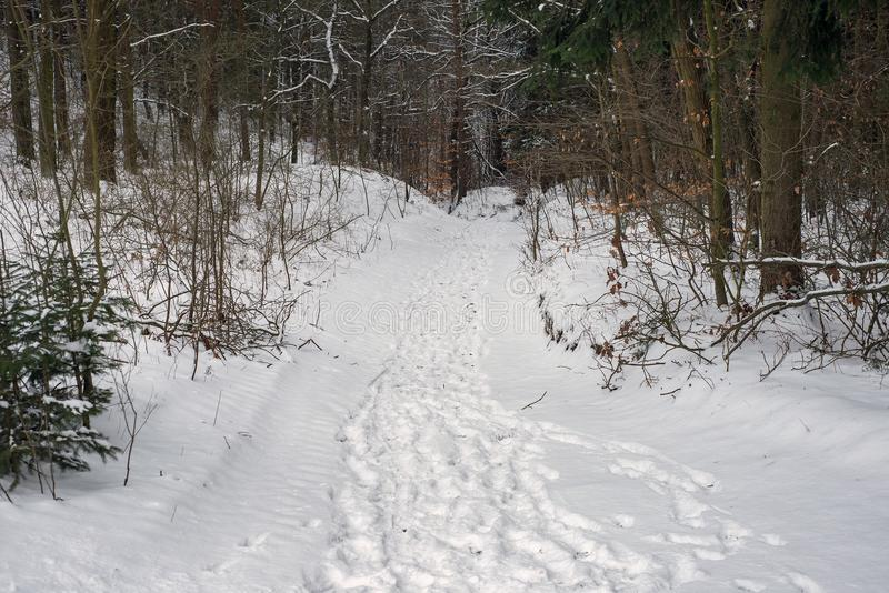 Natural forest winter path footpath trail tracks snow royalty free stock photos