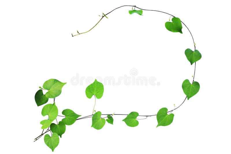 Natural frame of green heart shaped leaves climbing plant with b. Udding flower, clipping path included royalty free stock photos