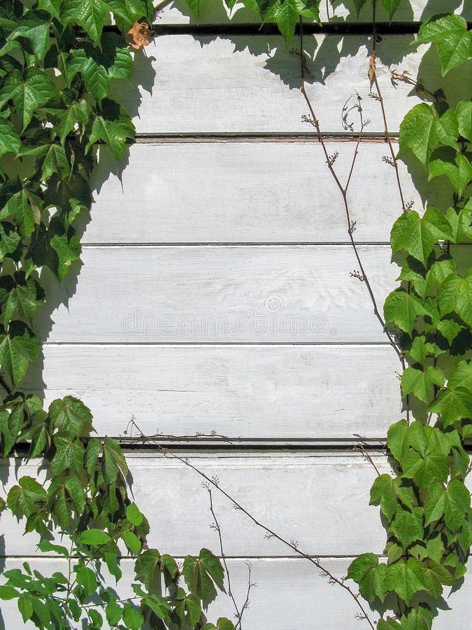 Natural frame - wooden wall entwined wild ivy royalty free stock photos