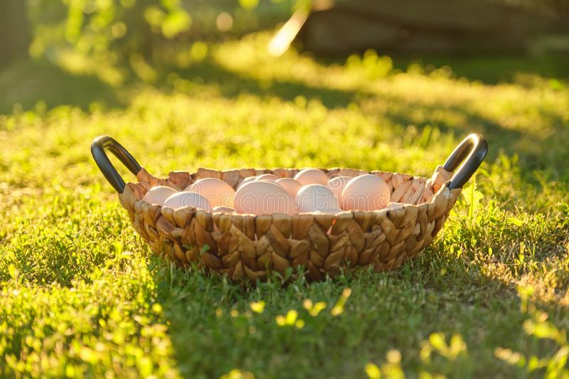 Natural fresh organic farm eggs in basket, grass background nature is golden hour stock image