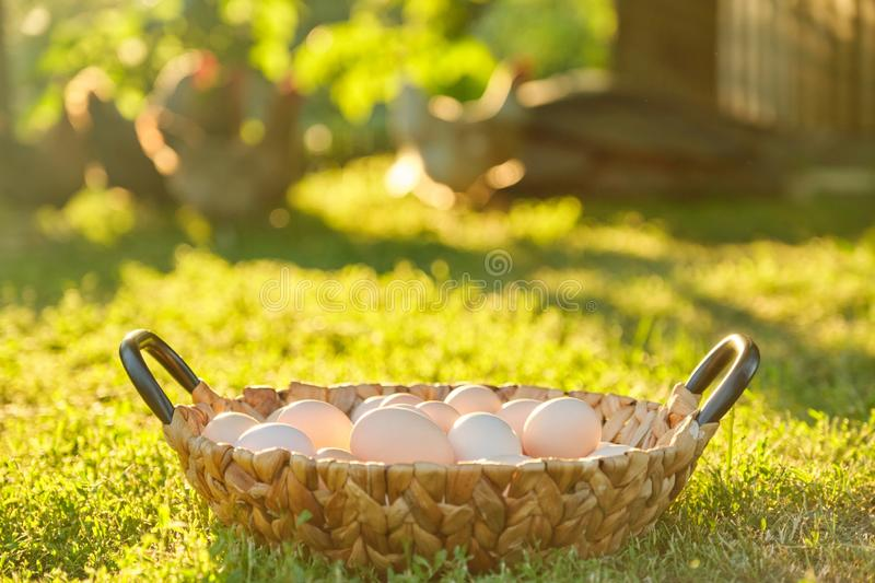 Natural fresh organic farm eggs in basket, grass background nature is the golden hour stock image