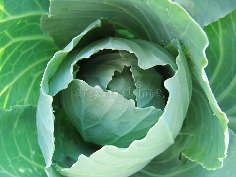 Natural fresh white cabbage in the garden close-up.  stock photos
