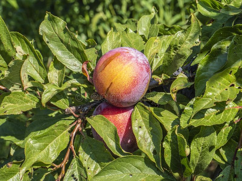 Natural fruit. Apples on the branches of an apple tree.  stock photos