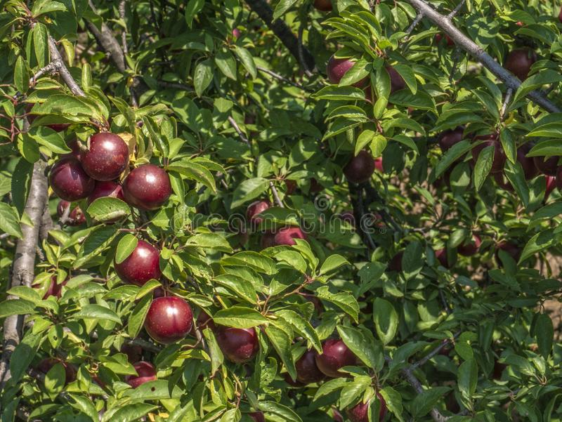 Natural fruits. Ripe plums on the tree in the farm garden.  stock photo