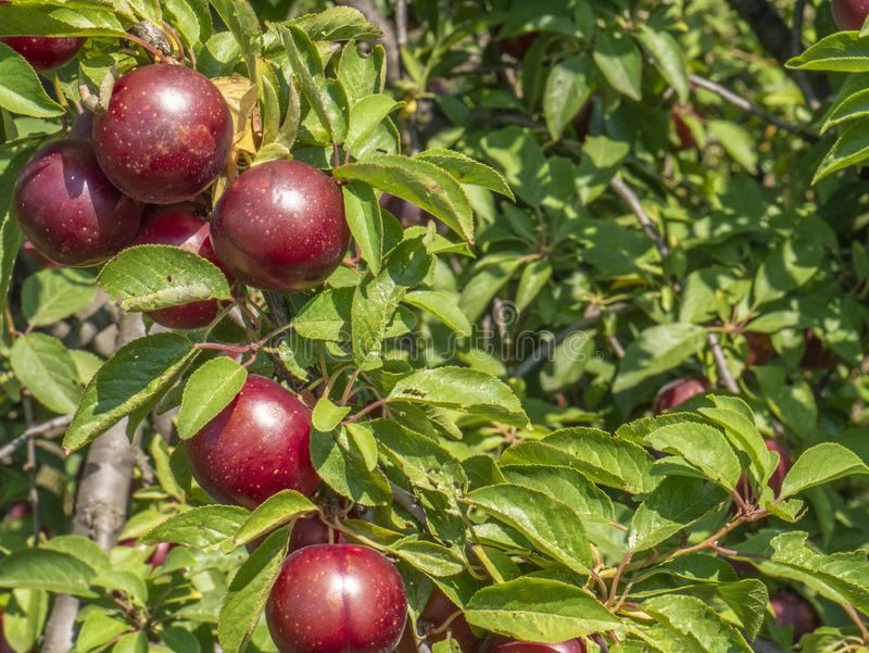 Natural fruits. Ripe plums on the tree in the farm garden.  stock photos