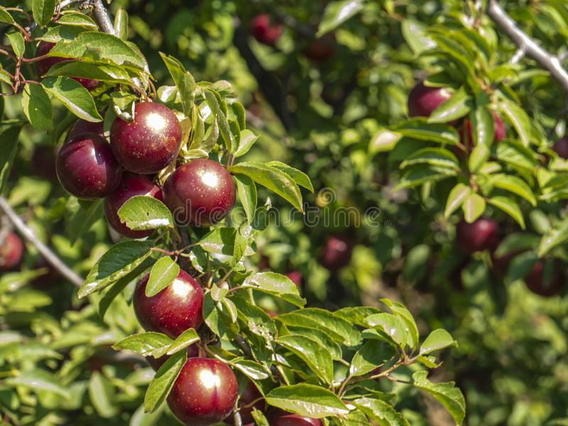 Natural fruits. Ripe plums on the tree in the farm garden.  royalty free stock photos